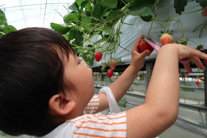 宜野座「ばむせファーム(Bamse Farm)」こども用ハサミを一生懸命使っていちごを収穫するお子サマー