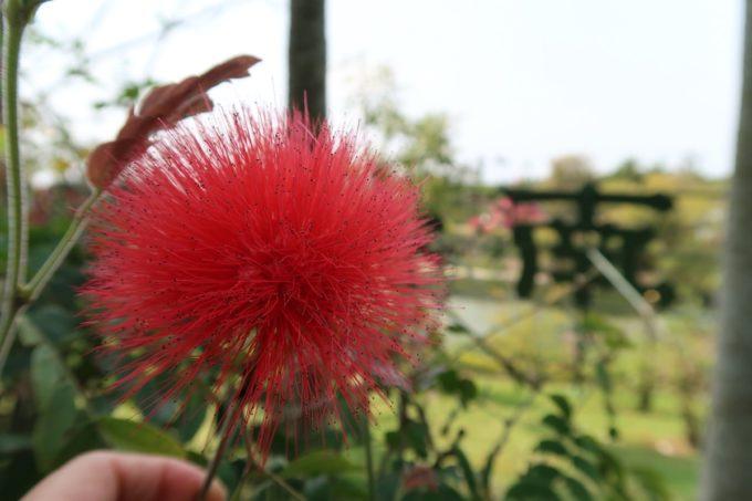 沖縄「東南植物楽園」赤くて丸いオオベニゴウガンのふわふわとした花