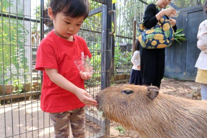 沖縄「東南植物楽園」動物ふれあい広場でカピバラに餌をあげる
