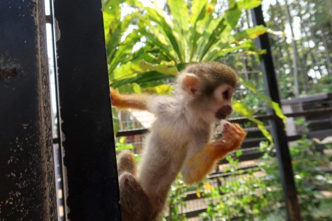 沖縄「東南植物楽園」動物ふれあい広場のリスザルに餌を奪われる