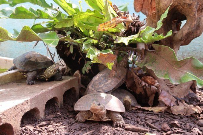 沖縄「東南植物楽園」動物ふれあい広場にいたカメさんたち