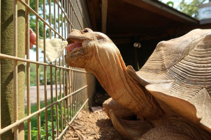沖縄「東南植物楽園」動物ふれあい広場でキャベツを食べる大きなカメさん