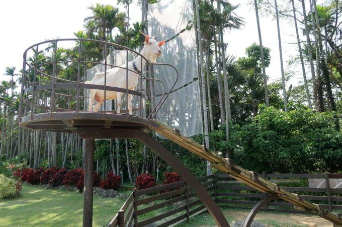 沖縄「東南植物楽園」動物ふれあい広場の白ヤギさん