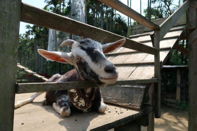 沖縄「東南植物楽園」動物ふれあい広場で小首を傾げる白黒ヤギさん