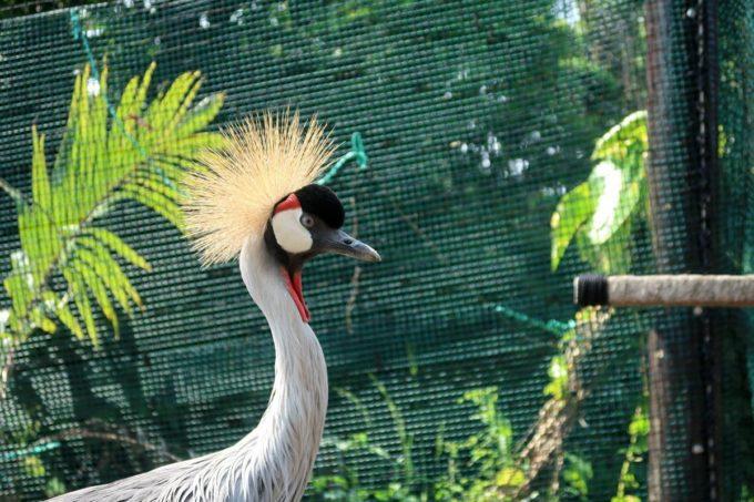沖縄「東南植物楽園」バードオアシスにいるホオジロカンムリヅル