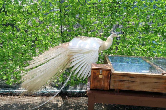 沖縄「東南植物楽園」バードオアシスにいるシロクジャク