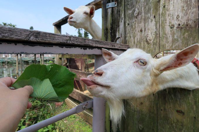 沖縄「東南植物楽園」ヤギ島の扉から顔を出し、餌をねだるヤギ