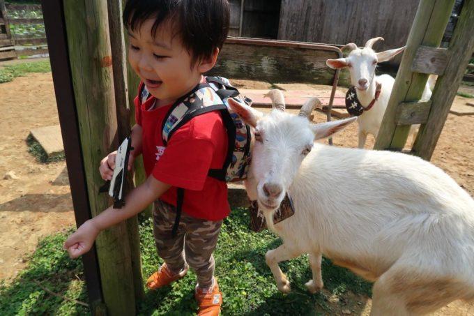 沖縄「東南植物楽園」ヤギ島でヤギに追いかけられるお子サマー