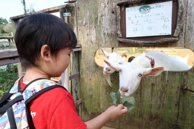 沖縄「東南植物楽園」ヤギ島から出て、やっと安心して餌やりができるようになったお子サマー