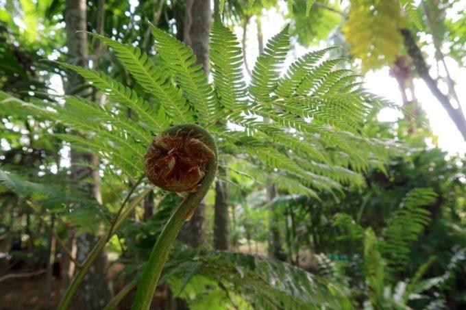 沖縄「東南植物楽園」植物園のヘゴ林と巨大ゼンマイのようなシダ植物