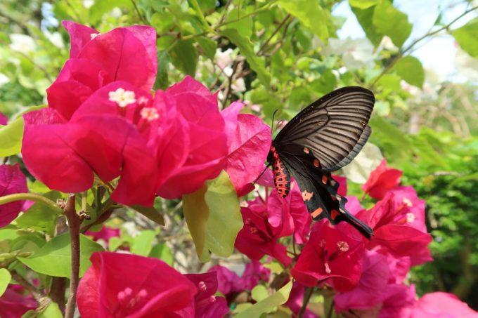 沖縄「東南植物楽園」植物園のジャコウアゲハ