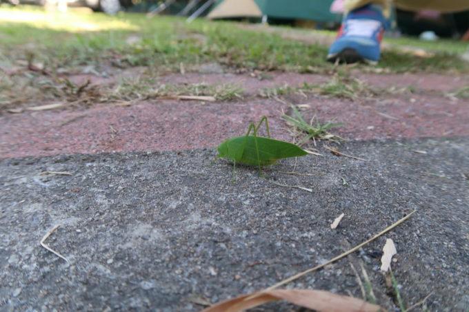 沖縄県東村「つつじエコパーク」キャンプ場で見かけたキリギリス