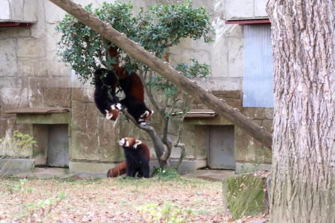仙台市「八木山動物公園」人だかりができていたのはもふもふのレッサーパンダだった