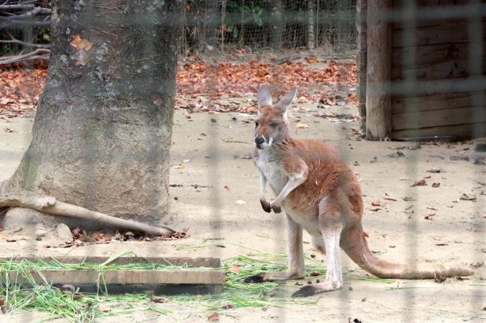 仙台市「八木山動物公園」のカンガルー
