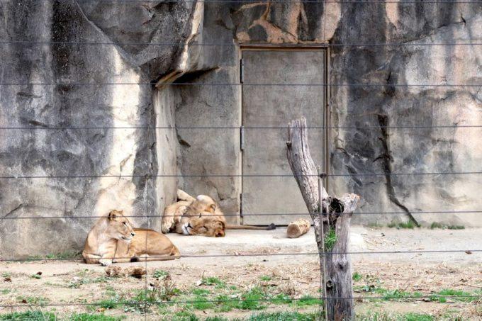 仙台市「八木山動物公園」遠巻きのライオン