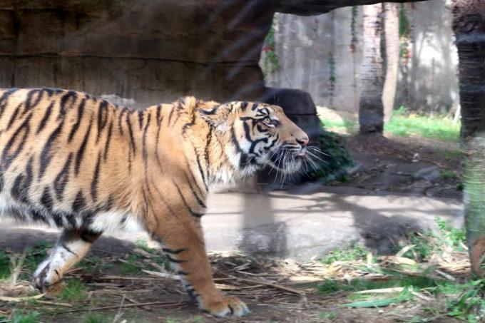仙台市「八木山動物公園」スマトラトラがのしのしと歩き回る