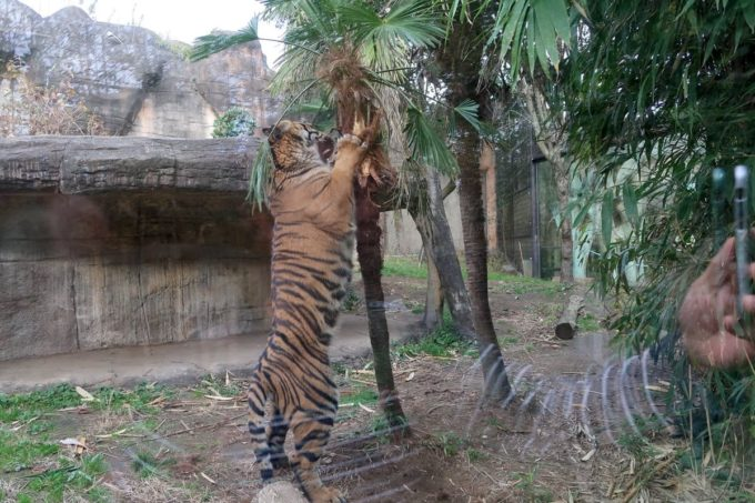 仙台市「八木山動物公園」急に狩りの練習をしだすスマトラトラ