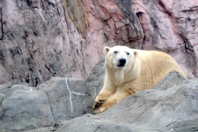 仙台市「八木山動物公園」ホッキョクグマはじーっと一点をみていた