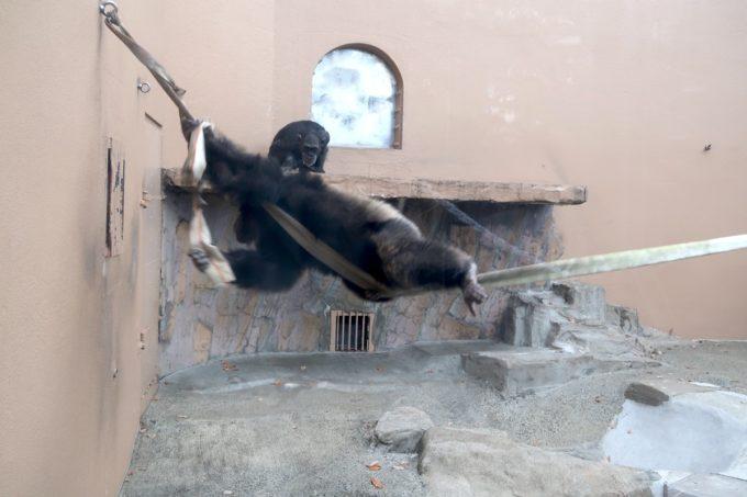 仙台市「八木山動物公園」隣の部屋に喧嘩をふっかけるチンパンジー