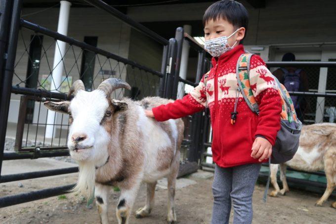 仙台市「八木山動物公園」人馴れしているヤギに近づきなでなでするお子サマー