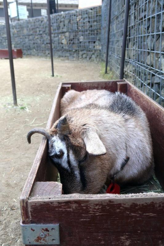 仙台市「八木山動物公園」餌箱の中で寝るヤギ