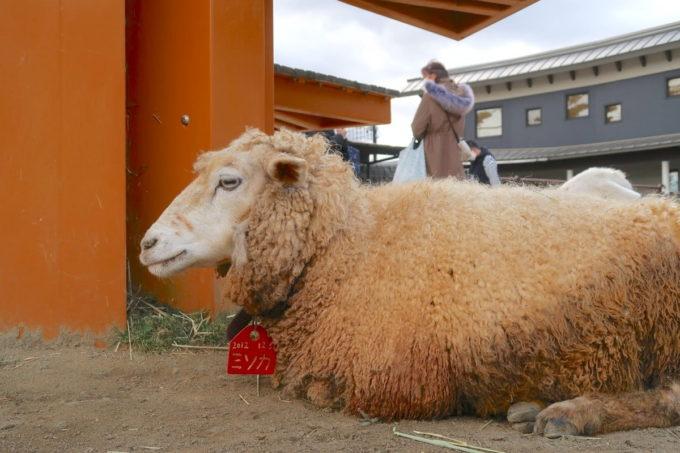仙台市「八木山動物公園」人から離れて座り込むヒツジ