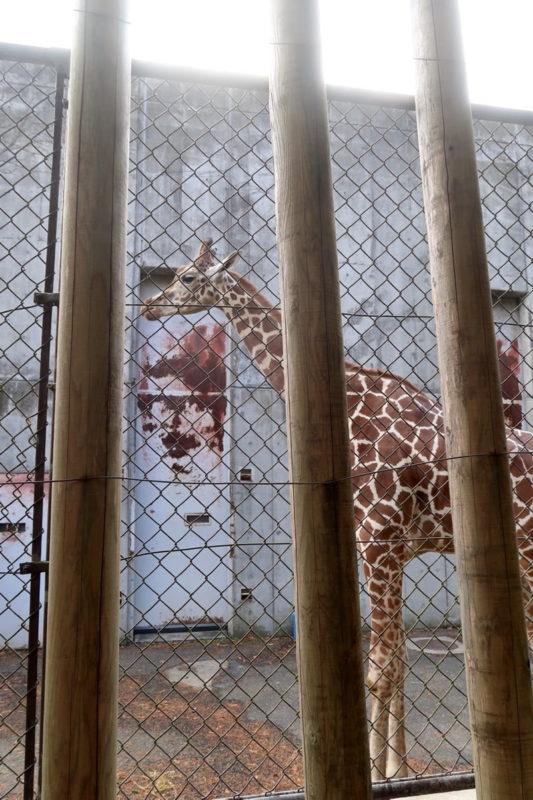 仙台市「八木山動物公園」キリンのエリア