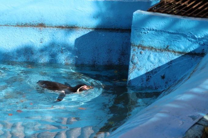 仙台市「八木山動物公園」ペンギンエリアでスイスイ泳いでいた1匹
