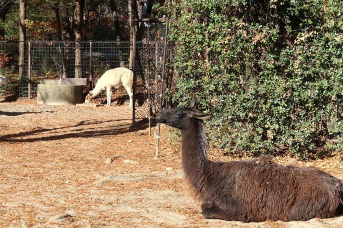 仙台市「八木山動物公園」のラマ