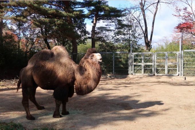 仙台市「八木山動物公園」のフタコブラクダ