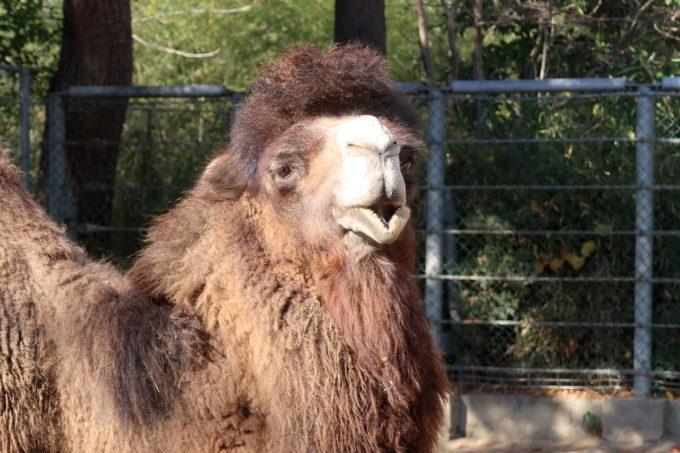 仙台市「八木山動物公園」口を開けるフタコブラクダ