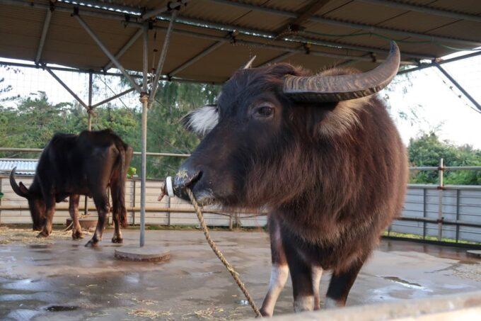 沖縄県金武町「ネイチャーみらい館」近くのふくらしゃやの水牛