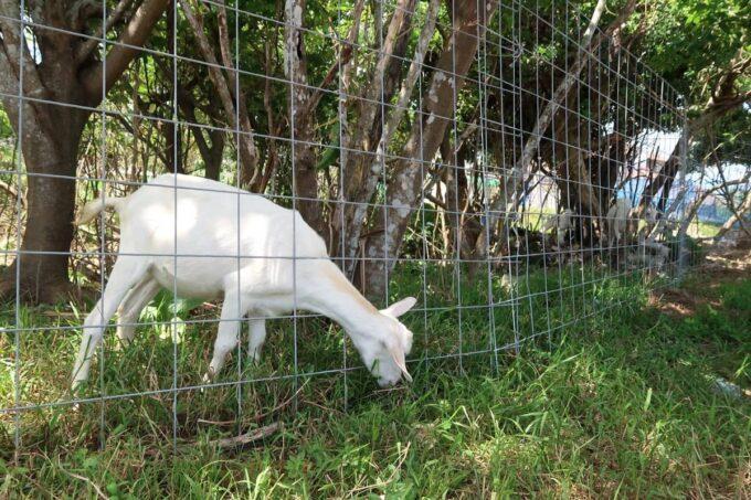 南城市「グスクロード公園」ヤギが飼われている