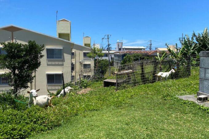 読谷村「渡具知ビーチ」の上の方にはヤギがいた